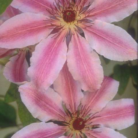 Clematis Nelly Moser, light pink petal edges and medium pink petal centers