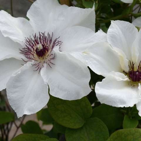 Clematis Ninon, white with dark purple anthers