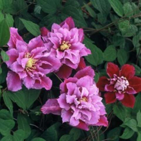 Clematis Piilu, lavender with double centers