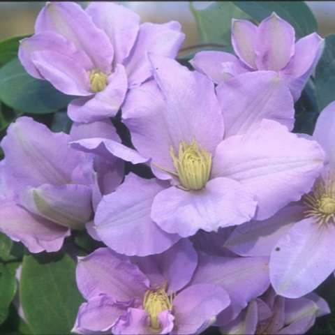 Clematis Silver Moon, light lavender, yellow centers