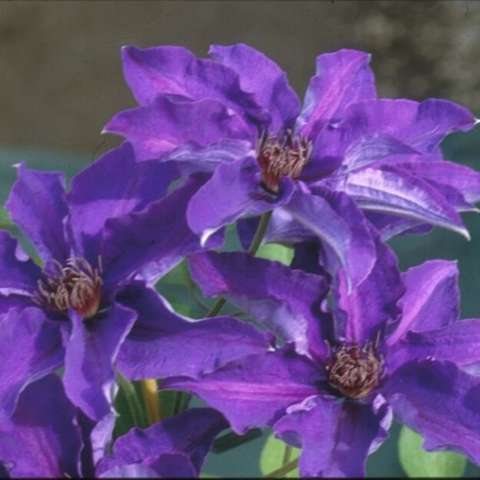 Clematis The President, strong purple