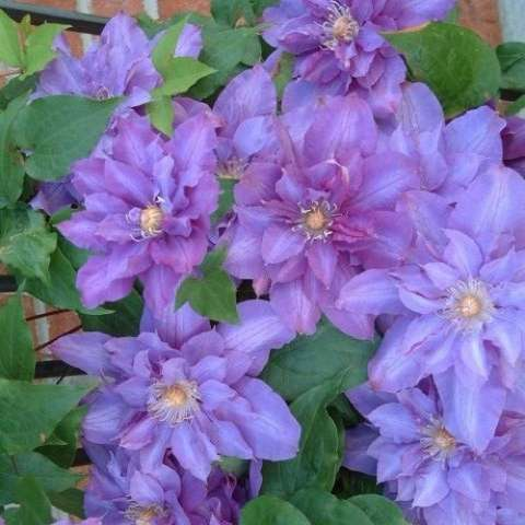 Clematis Vyvyan Pennell, bushy double flowers with blue-purple petals