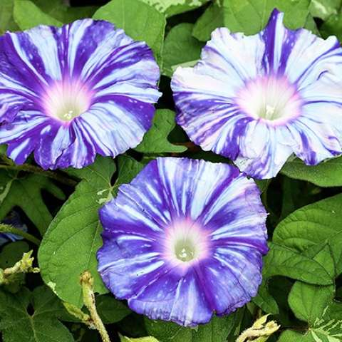 Ipomoea Murakamo, blue-purple and white striped flowers