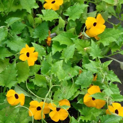 "Winsome trailing or twining vine with masses of 1"" tubular flowers with flat, op"