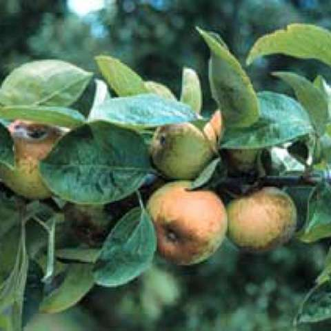 Malus domestica Brown Snout, tree bears small green-yellow fruits