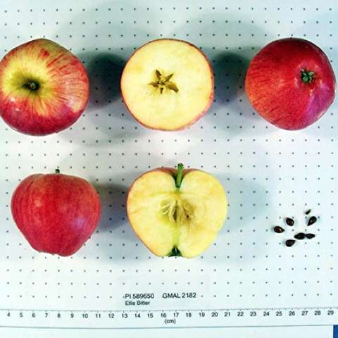 Malus domestica Ellis Bitter, red apples