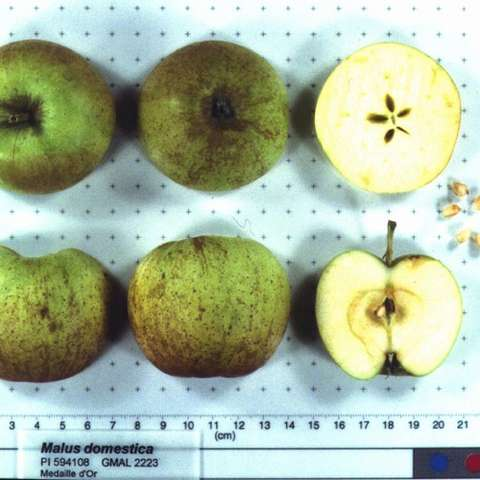 Malus domestica Medaille d'Or, green apples with brown russets