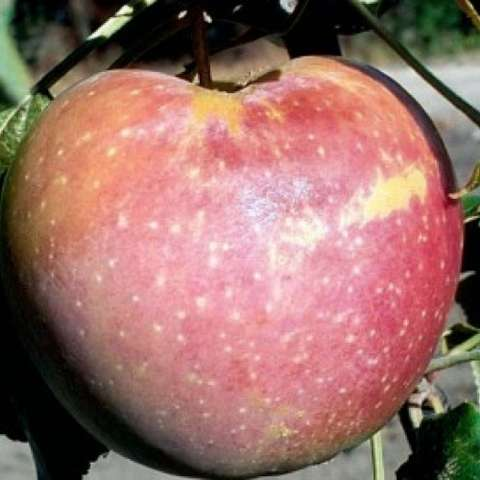 Prairie Magic apple, red with yellow dotting