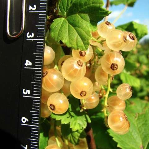 Ribes rubrum White Imperial, clusters of of half-inch golden fruit
