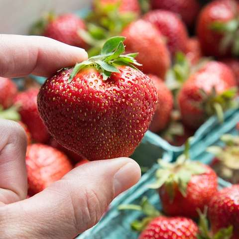 Archer strawberry, very large red fruit