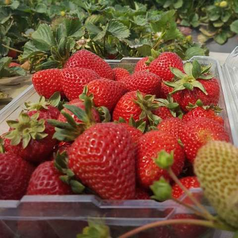 San Andreas strawberry, red fruit