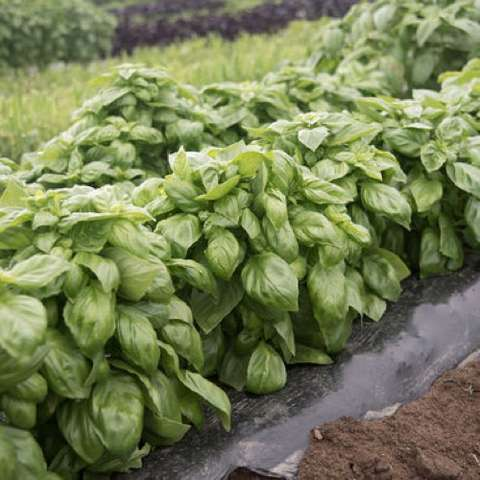 Everleaf basil, large green shiny leaves