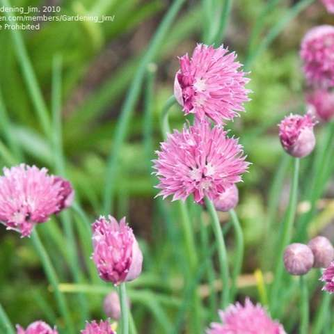 Chives Forescate, pompon of tightly clustered tiny pink flowers