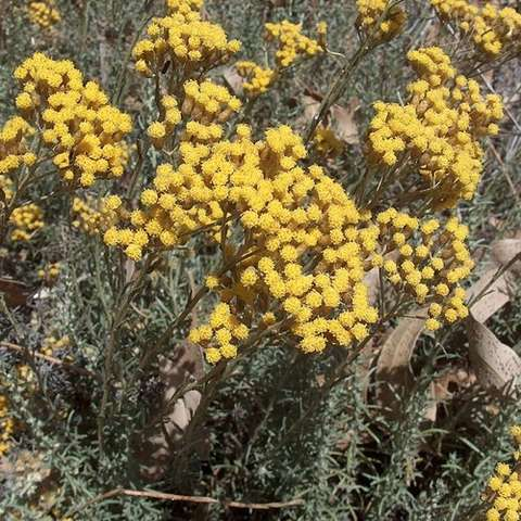 Dwarf Curry Plant, clusters of small pompoms of gold flowers