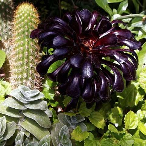 Black-leafed Aeonium, shiny succulent leaves very dark purple