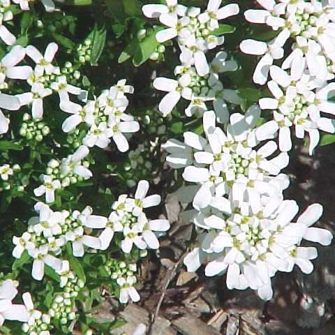 Candytuft Alexander's White, clusters of small white flowers