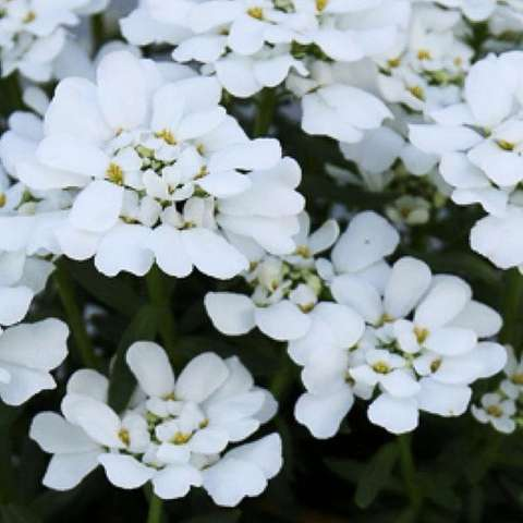 Iberis Candytuft, white flowers with many petals