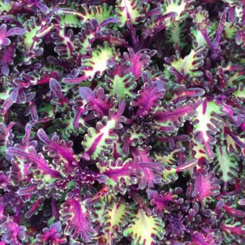 Miniature Coleus Sea Monkey Purple, ruffled leaves in bright green, white and purple