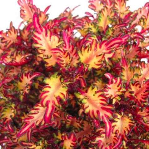 Miniature Coleus Sea Monkey Rust, ruffled leaves in bright pink, green, and white