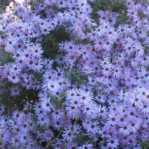 Aster Raydon's Favorite, many lavender blue small daisies