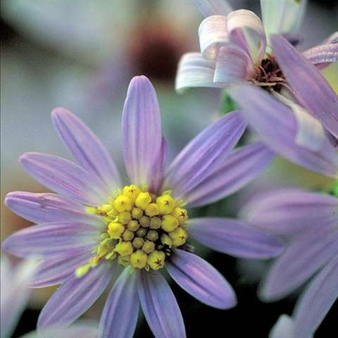 Short's Aster, light lavender daisy flowers, yellow centers