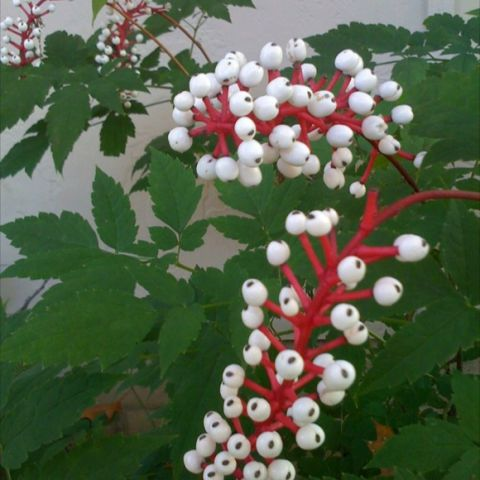 Actaea pachypoda, white berries with bright red stems