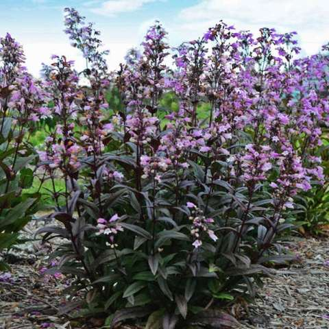 Penstemon digitalis Blackbeard, pink flowers and dark leaves