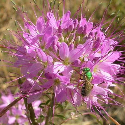 Beeplant Native, crowns of pinkish purple flowers