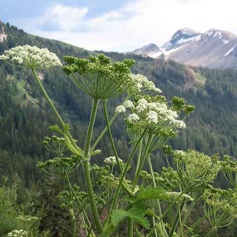 Cow Parsnip, clusters of lacy, white flowers atop long stems