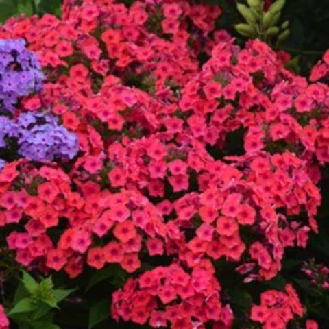 Phlox Flame Coral, pink to coral flat flowers