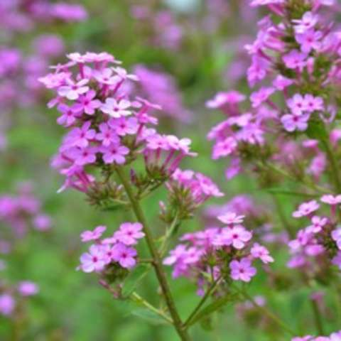 Phlox Jeana, many small flat lavender flowers clustered