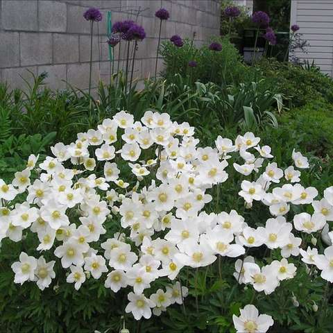 Anemone sylvestris, white single flowers with yellow centers.