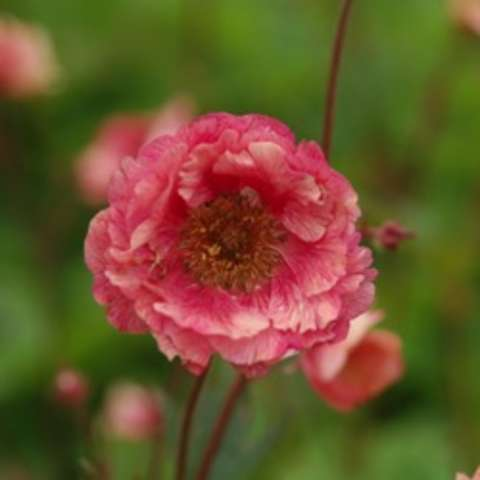 Geum Cherry Bomb, double petals in peach to dark pink dark center