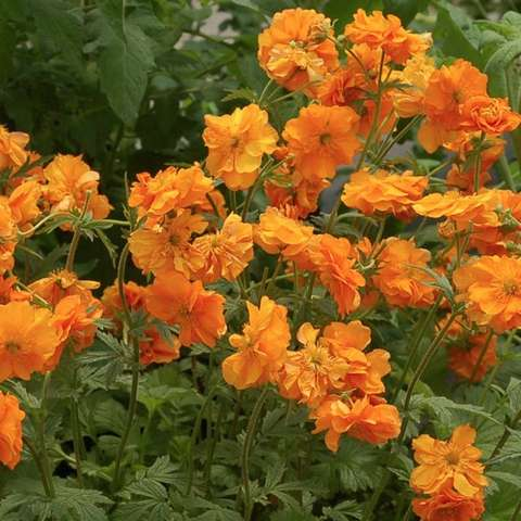 Gem Fire Storm, bright orange flowers with some gold bits