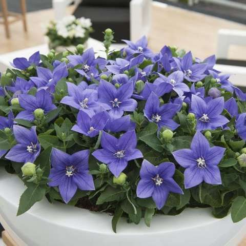 Platycodon Astra Blue, purple-blue five-petaled flowers, pointed petals