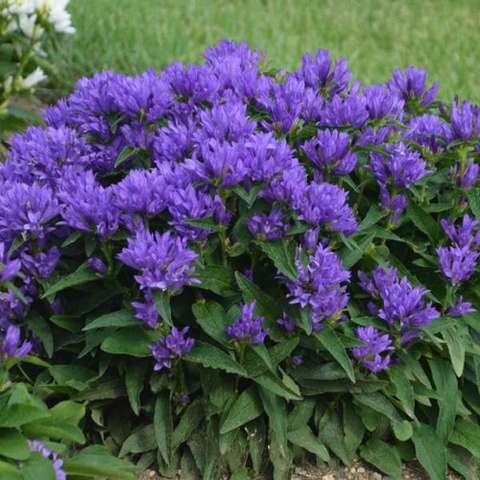 Campanula glomerata Genti Blue, purple-blue dense flowers