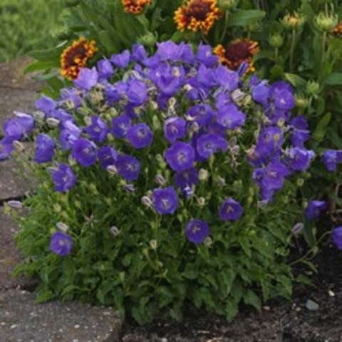 Campanula Pearl Deep Blue, upright plant with purple flowers