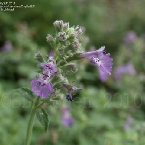 Nepeta Little Trudy, blue-violet flowers close up