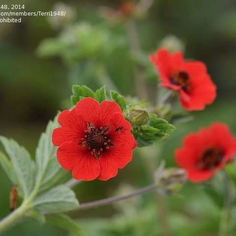 Potentilla Gibson's Scarlet, red flowers with almost black centers