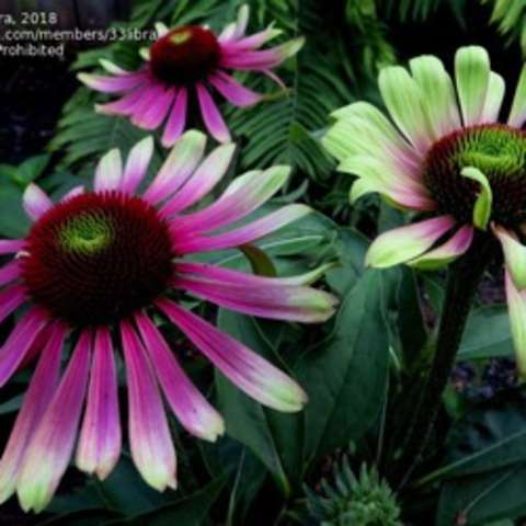 Echinacea Green Twister, light green-tipped petals on pink coneflowers, curved up petals