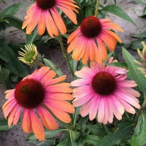 Echinacea Butterfly Rainbow Marcella, dark centers and pink to orange petals