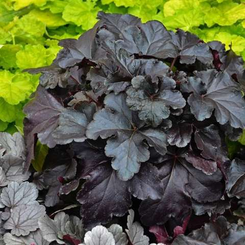 Heuchera Primo Black Pearl, black scalloped leaves