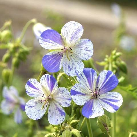 Geranium Delft Blue, white five-petaled flowers with blue-lavender irregular spattering