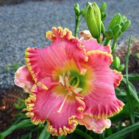 Diva's Choice daylily, pink recurved with yellow frilly edges