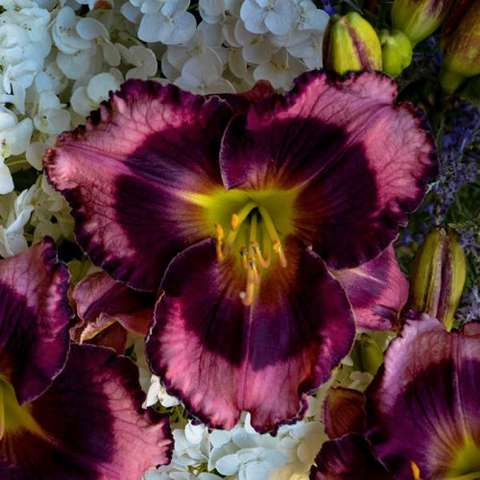 Hemeocallis Storm Shelter, purple and dark purple with a green throat