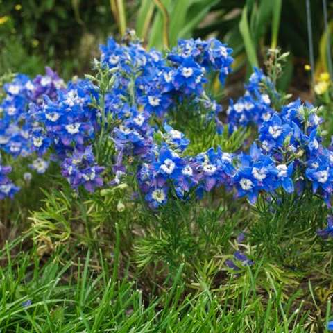 Delphinium Summer Cloud, blue flowers with white eyes