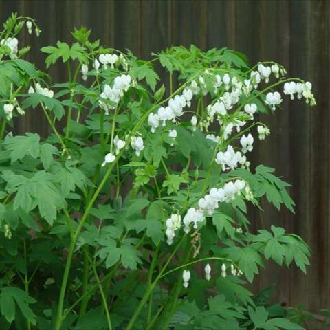 Dicentra spectabilis alba, white heart-shaped flowers on arching stems