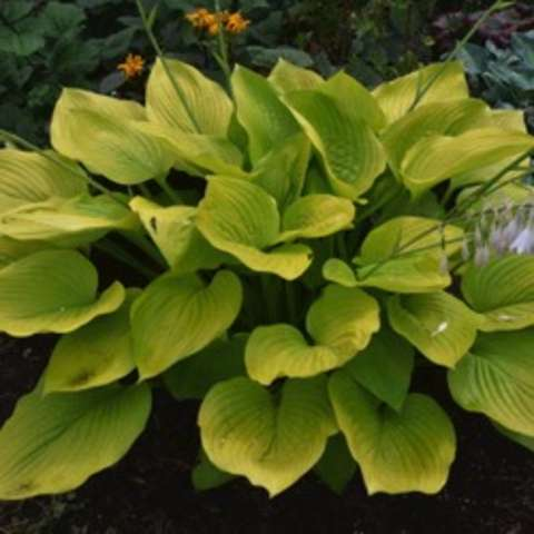 Hosta Age of Gold, yellow-green leaves