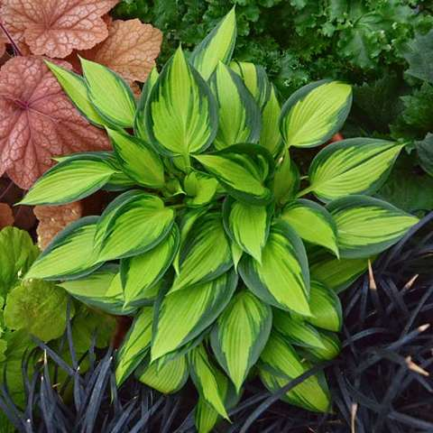 Hosta June Spirit, yellow green leaves with narrow dark green edges, elongated leaves