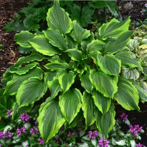 Hosta One Last Dance, green corrugated leaves with light green edges